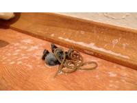 【影】「蟲生線蟲」從蜘蛛屍體鑽出 掏空宿主只要數天