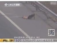 狗誤闖高速公路被輾斃 同伴無懼往來車輛留在牠身邊