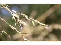 「竹樹開花必有大災?」暹邏竹半世紀首開花 錯過得等下輩子