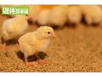 雞腳上凸起的異物千萬不要吃!「臭腳」是受傷造成結痂