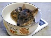 日本「世界最小鹿」誕生! 身長20公分「躺在碗公」秤重