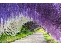 不只櫻花盛放!紫藤花瀑布、荷蘭鬱金香 全球5大絕美花海