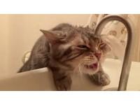萌貓吐舌伸長脖想喝水...「頭頂出水口」水柱亂噴變洗頭
