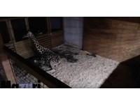 動物園YouTube直播長頸鹿生產 衰遭檢舉「裸露色情」