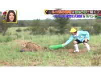 日節目偷放「巨無霸小黃瓜」 獵豹一轉頭嚇到噴走