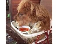 小馬坐嬰兒餐椅吃紅蘿蔔 日本農場被轟「虐待動物」