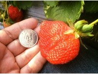 連假不下雨、第二產季更省 苗栗大湖採草莓好時機!