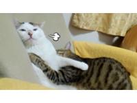 家有母老虎!虎斑貓四面攻擊 弟弟看破紅塵:貓生好難...
