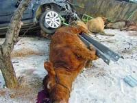山東貨車側翻15頭牛慘死 村民趁亂割牛腿