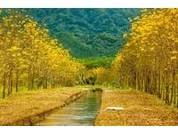 金黃乍現的繽紛美景 全台4處「黃花風鈴木」盛放景點