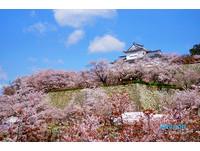 絕美!1000顆櫻花樹環繞 日本津山城一片粉紅