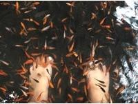 「溫泉魚咬破腳皮會傳愛滋?」 6大超瞎迷思報你知!
