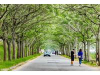 一定要到樹下感受 又美又香的嘉義「苦楝樹綠色隧道」