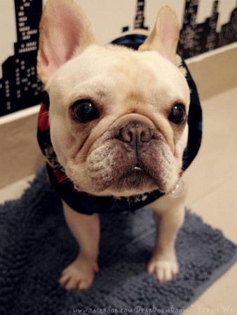 法鬥犬「蹦蹦」跟愛瘋對話 Siri:我不清楚