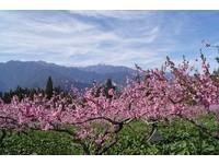 求桃花最後機會?福壽山農場「桃花」全面盛開