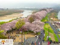 京都賞櫻最新景點搶先看!背割堤的櫻花邂逅館