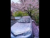 愛車停一夜變「櫻花限定版」 網友:超夢幻的啦