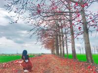 美得像是畫作! 鋪上大自然紅地毯的竹塘木棉花道