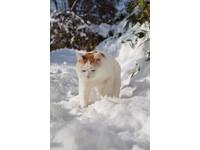貓叔雪中漫步 陽光折射讓牠睜不開眼 仍迷倒一票粉絲
