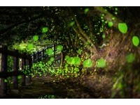 點點螢光圍成浪漫星海 坪林秘境「螢火蟲大爆發」