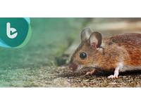 臍帶血活化老鼠記憶 有望治療心智功能衰退