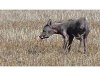 活生生的「卓柏卡布拉」 美國中南部目擊乾癟狗身怪獸