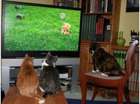 貓咪是電視兒童? 喵星人「守住螢幕」的3大超萌原因!