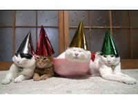 「貓叔」小白頭戴派對帽 以熟睡展現定力