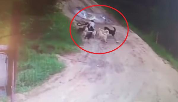 ▲▼俄羅斯工廠警衛好心餵流浪狗,慘被12惡犬咬死。(圖/翻攝自YouTube)