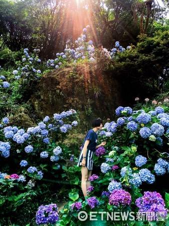 台灣女網友「香菇」一張在陽明山的繡球花照片,獲Instagram官方帳號選為PO文,短短3天超過145萬網友按「喜歡」。(圖/香菇授權提供)