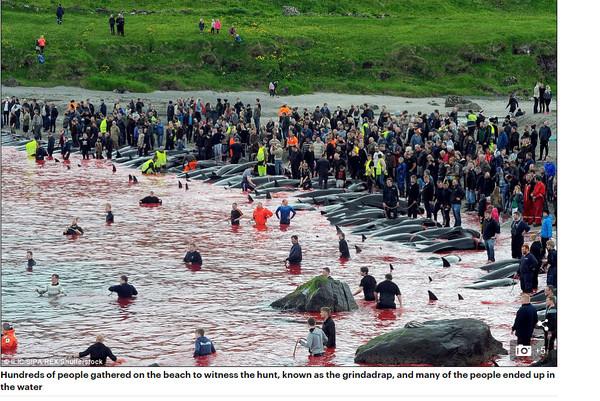▲▼法羅群島捕鯨,大海染成血紅。(圖/翻攝自每日郵報)