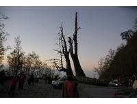 基座腐朽又遇大雨!塔塔加夫妻樹夫樹倒了 從此和妻樹別離