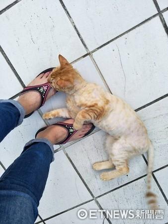 ▲想回家卻遇到「路倒貓」討罐罐! 賴腳邊不走還擋門口。(圖/網友戴秀雲提供)