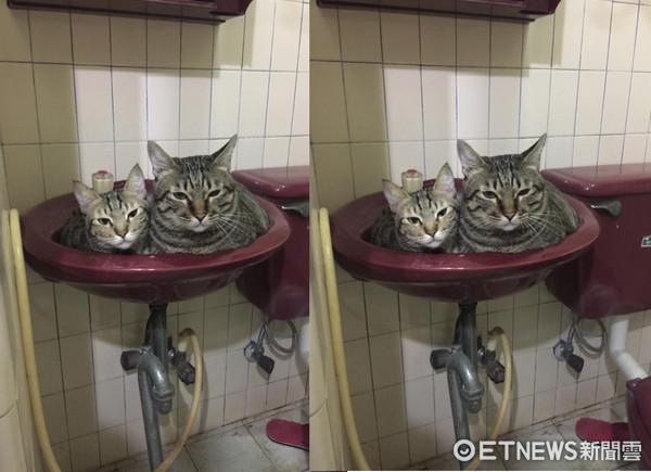 ▲2貓「擠好塞滿」洗手台!表情超厭世 網笑:可憐的臉盆QQ。(圖/網友Tina Wang提供,請勿隨意翻拍,以免侵權。)