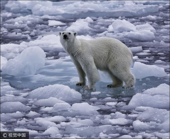 ▲▼北極熊,冰山,氣候,變遷,暖化,溫室效應。(圖/CFP)