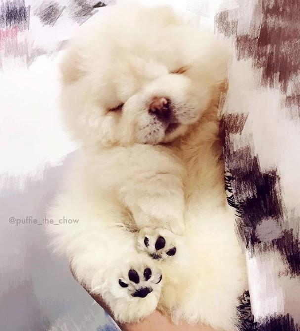 ▲鬆獅犬puffie(圖/翻攝自puffie_the_chow ig)