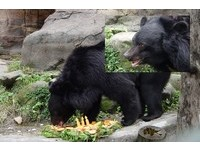 台灣黑熊母子檔光顧甜柿園 泰安農民不敢上山