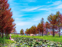 像在歐洲!宜蘭免費秘境農場 夢幻「落羽松」紅了