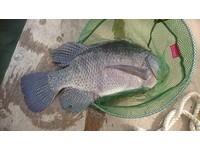 免費釣魚活動 釣客拉到手酸「大喊不要不要」