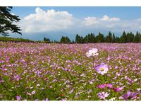 福壽山農場波斯菊花海全面爆發 一整片粉嫩花毯!