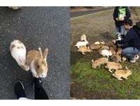 超萌兔子大軍!日本大久野島上百隻兔子抱大腿求你餵食