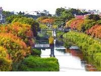 不輸楓紅!屏東萬年溪畔欒樹變色 歐洲風情畫就在眼前