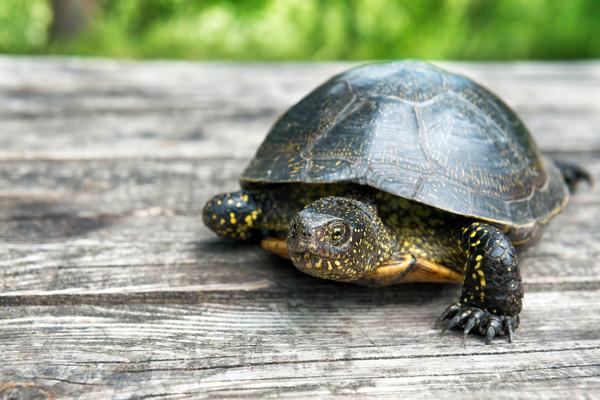 沃尔塔泥龟生活在浅水池塘里或溪流中,属於淡水龟,虽然获得认证为新