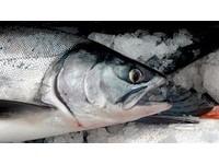 鮭魚DNA可取代矽?清大發現「有機體」儲存物質