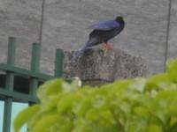 榕樹學堂訊/內湖四期的台灣藍鵲及赤喉鷚
