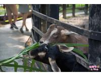 假日遛小孩好去處!高雄休閒農場餵羊咩咩、現擠新鮮羊奶