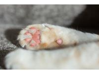 貓咪也可以看「手相」 肉球像幸運草感情豐富