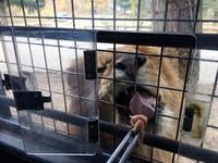 群馬野生動物園必搭獅子車體驗餵食秀 舌頭都伸進車內
