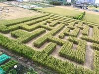 600坪巨型迷宮、神秘稻田圈!2017竹東稻田嘉年華週末登場