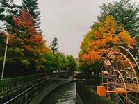 宛如身處荷蘭風景畫中!雲林水圳旁「落羽松轉紅」